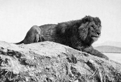 berberlöwe panthera leo leo