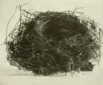 nest vom chatham-glockenhonigfresser