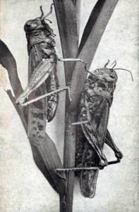 rocky mountain heuschrecke Minnesota locust