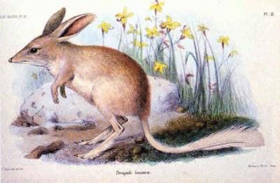 kleiner kaninchennasenbeutler Macrotis leucura