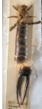 st.-helena-riesenohrwurm Labidura herculeana