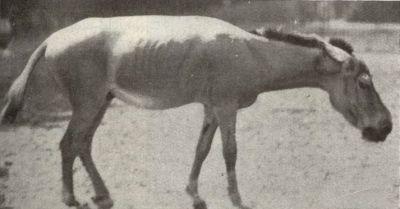 syrischer halbesel Equus hemionus hemippus