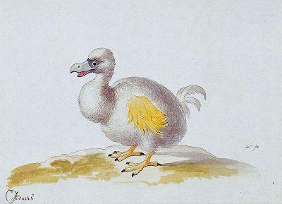 weißer dodo