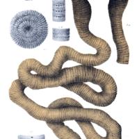 Brasilianischer Riesenregenwurm