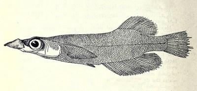 entenschnabelkärpfling Andrianichthys kruyti