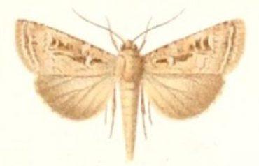 laysan-eule Agrotis-laysanensis