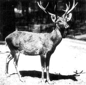 schomburgk-hirsch im zoo / Rucervus schomburgki