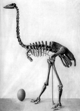 elefantenvogel Aepyornis maximus