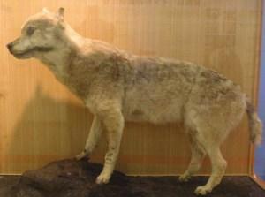 honshu-wolf canis lupus hodophilax