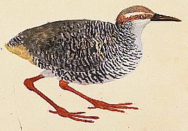 tongatapu-ralle gallirallus hypoleucus