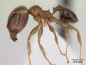 Pheidole megacephala Großkopfameise