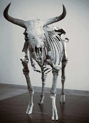 Kopenhagen Skelett vom Auerochse