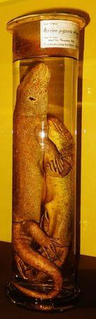 Chioninia coctei Kapverdischer Riesenskink