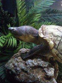 Lake-Chapala-Klappschildkröte (Kinosternon hirtipes chapalaense)