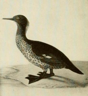 mergus-australis Aucklandsäger