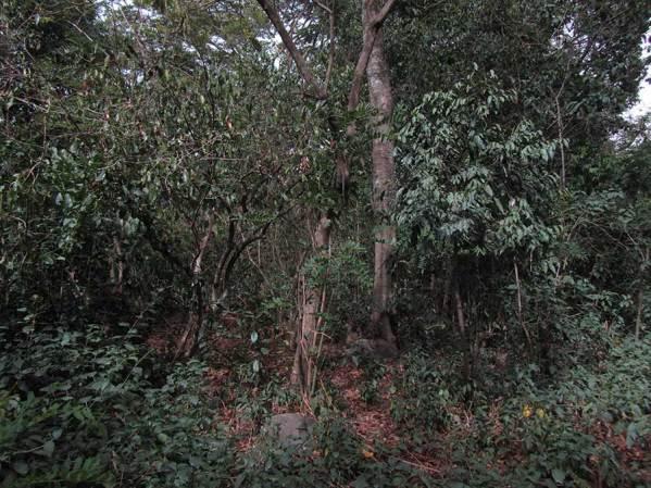 coffee plants on sacred island
