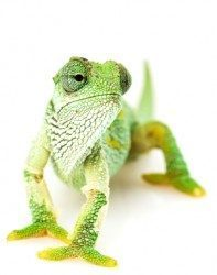 Copywriting Chameleon