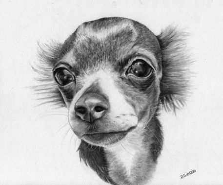 Chihuahua Drawing Art Prints And Posters By Dawn Gibson