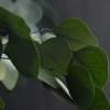 Eucalipt banut verde pic
