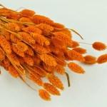Phalaris portocaliu