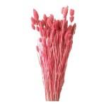 Phalaris roz 1