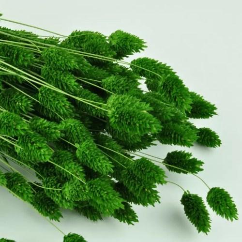 Phalaris verde