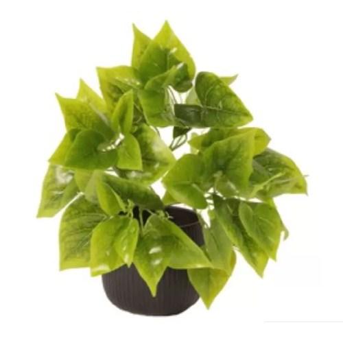 Philodendron tufa H40 detaliu