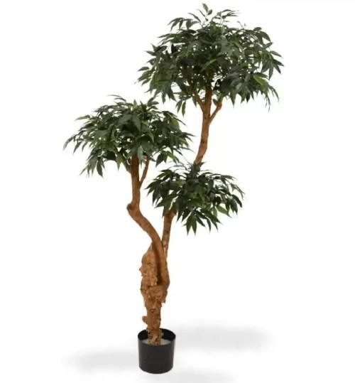 Stejar Japonez premium 160cm