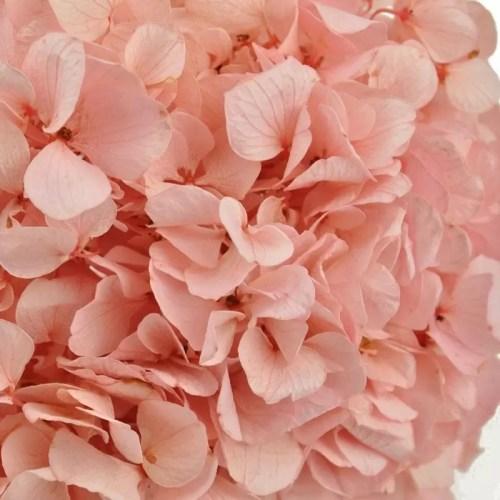 hortensia stabilizata roz zoom