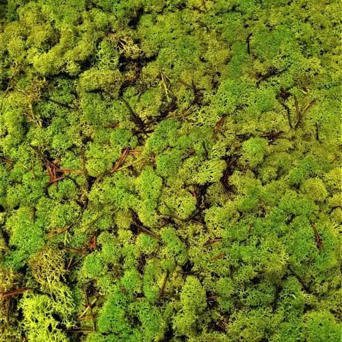 Licheni conservati Lime Green cat B culoare neuniforma