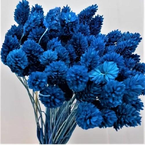 Phalaris albastru intens set
