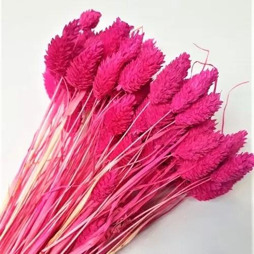 planta uscata phalaris mini hot pink
