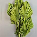 Frunze Palmier mediu Verde deschis