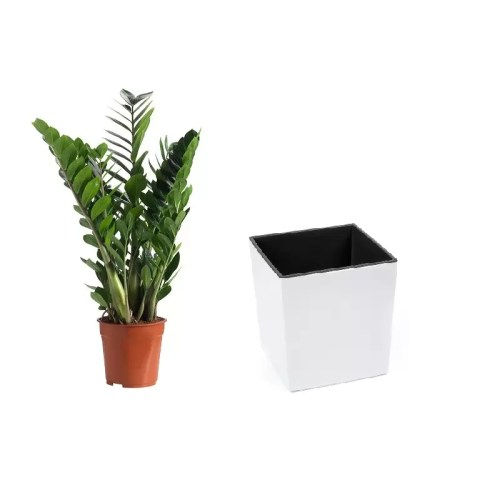 Pachet Zamioculcas in Ghiveci Basic LOW alb 30cm