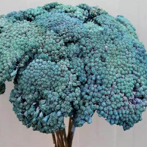 Achillea albastru set