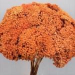 Achillea oranj set