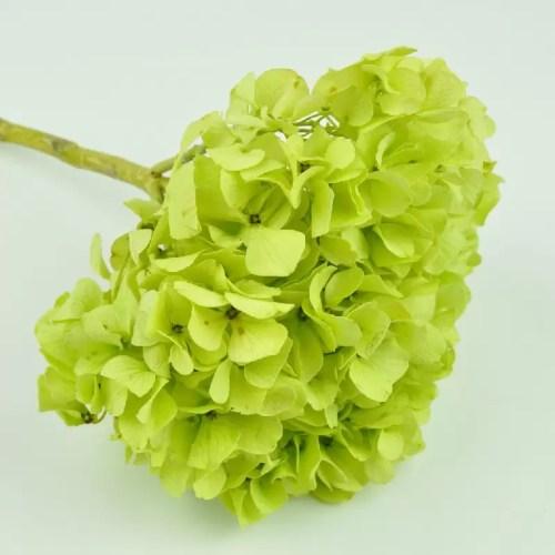 Hortensia stabilizata Lime