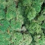 Licheni cat II Green Broccoli