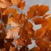 Creanga fag conservat Oranj pic