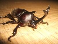 Pertarungan Serangga Sebuah Hobi Yang Populer Di Jepang