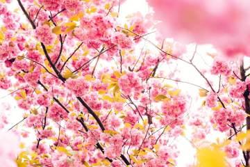 Bunga Sakura Akan Mekar Lebih Awal Pada Tahun 2019 Ini !