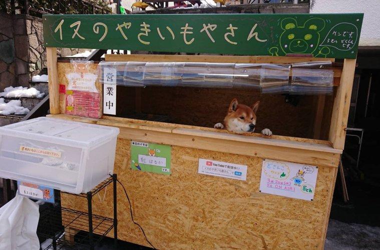 Ada Kios Penjual Ubi Bakar Yang Dijaga Oleh Seekor Anjing Shiba Inu Di Jepang !