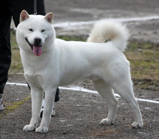 10 Jenis Anjing Ras Yang Disukai di Jepang 6