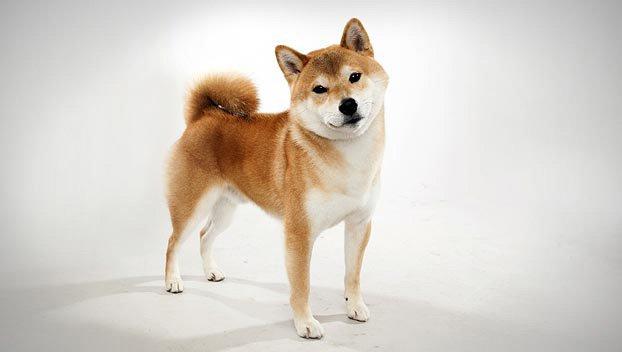 10 Jenis Anjing Ras Yang Disukai di Jepang 7