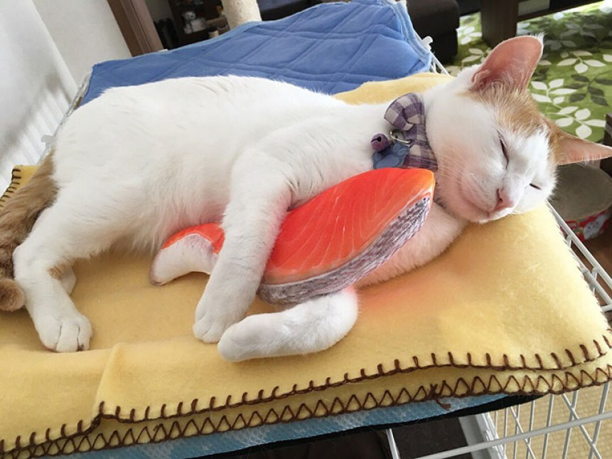 Mugi-kun Seekor Kucing Yang Tergila-gila Oleh Bantal Ikan Salmon Di Jepang !