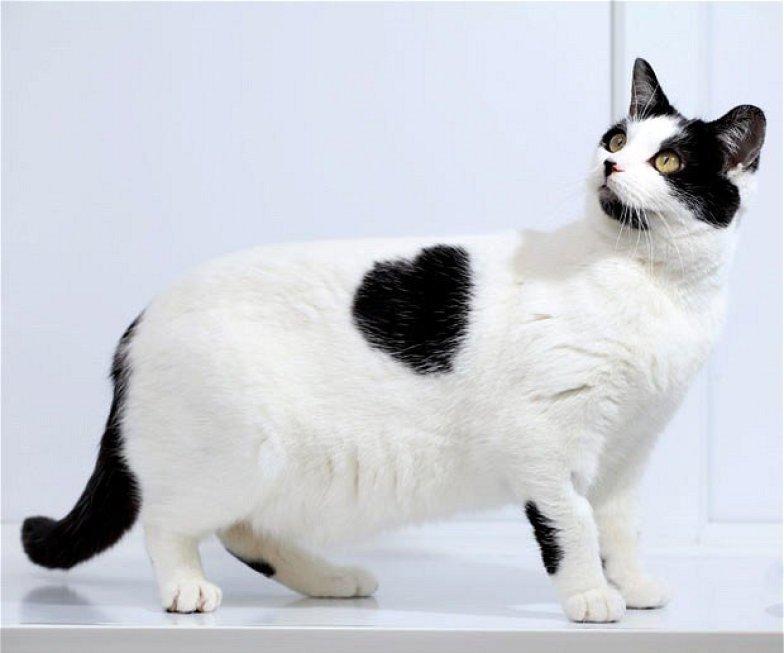 5-Fakta-Menarik-Tentang-Kucing-Bobtails-Jepang