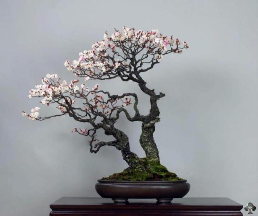 7 Pohon Bonsai Yang Memiliki Catatan Sejarah Dan Bentuk Terbaik