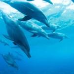 Berenang Dan Bermain Bersama Lumba-Lumba Liar Di Pulau Mikurajima !