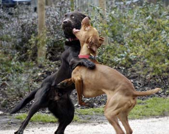 Dogfighting.....