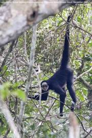 long-haired spider monkey - ateles